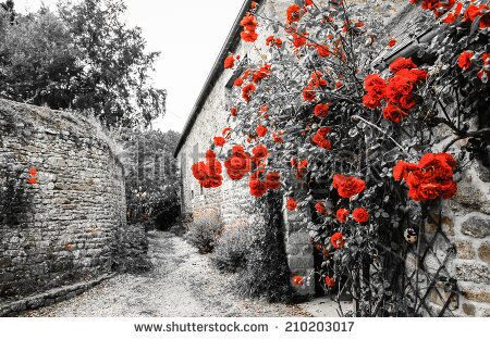 stock-photo-red-roses-bushes-near-old-rural-house-brittany-france-vacation-at-countryside-background