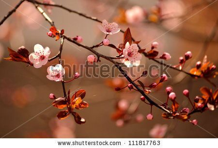 stock-photo-beautiful-flowering-japanese-cherry-sakura-background-with-flowers-on-a-spring-day-11181