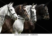 stock-photo-portrait-of-four-horses-in-dressage-competition-isolated-on-black-170961554