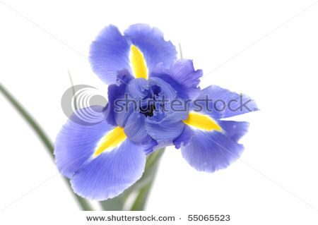 stock-photo-iris-blue-flowers-55065523