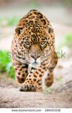 stock-photo-large-jaguar-male-performing-an-attack-with-his-ferocious-look-traight-to-your-eyes-188401538