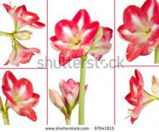 stock-photo-collage-of-an-amaryllis-plant-and-its-flowers-on-a-white-background-97641815
