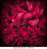 stock-photo-peony-flower-for-background-paeonia-lactiflora-macro-shot-192791411