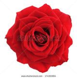 stock-photo-red-rose-deep-focus-no-dust-no-pollen-more-flower-head-in-my-portfolio-174301904