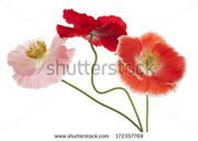 stock-photo-studio-shot-of-pink-and-orange-colored-poppy-flowers-isolated-on-white-background-large-depth-of-172357769