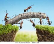stock-photo-team-work-ants-constructing-bridge-80955316