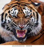 stock-photo-close-up-of-a-tiger-s-face-with-bare-teeth-tiger-panthera-tigris-altaica-20450716