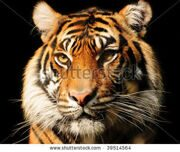 stock-photo-portait-of-a-majestic-sumatran-tiger-over-black-endangered-species-39514564