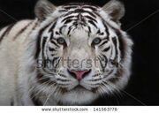 stock-photo-interest-in-eyes-of-a-young-white-bengal-tiger-141563776