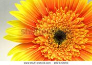 stock-photo-yellow-gerbera-close-up-109530650