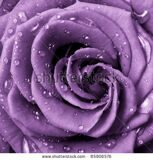 stock-photo-close-up-of-violet-rose-petals-85906576