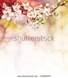 stock-photo-cherry-blossoms-over-blurred-nature-background-spring-flowers-spring-background-with-bokeh-178299353