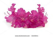 stock-photo-pink-azalea-flowers-on-a-white-background-31535041