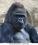 stock-photo-bust-portrait-of-a-gorilla-male-severe-silverback-on-rock-background-menacing-side-look-of-the-153247256