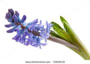 stock-photo-purple-hyacinthus-flower-in-closeup-over-white-background-72658435