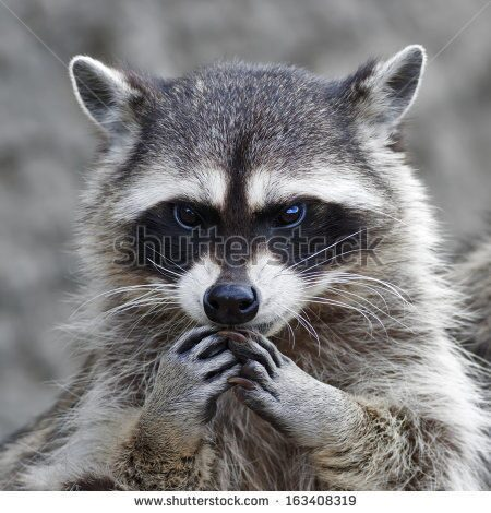 stock-photo-the-head-and-hands-of-a-cute-and-cuddly-raccoon-that-can-be-very-dangerous-beast-side-fa