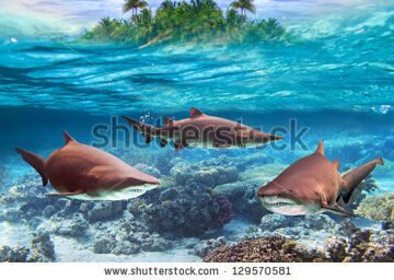 stock-photo-dangerous-bull-sharks-in-the-tropical-shallow-water-129570581