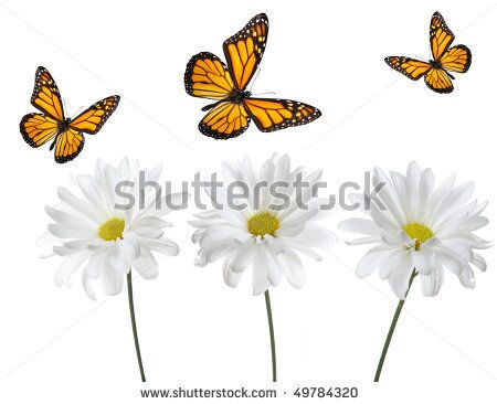 stock-photo-monarch-butterflies-and-white-daisies-studio-lit-and-perfectly-isolated-49784320