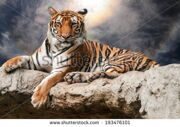 stock-photo-portrait-of-tiger-lie-down-on-rock-with-ray-and-spectacular-sky-193476101
