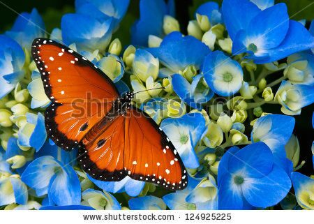 stock-photo-queen-butterfly-danaus-gilippus-on-blue-hydrangea-flowers-124925225