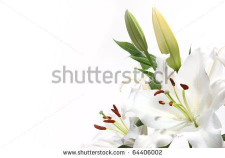 stock-photo-white-lily-with-a-white-background-64406002