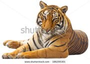 stock-photo-beautiful-tiger-isolated-on-white-background-186295301