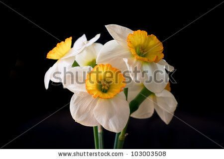 stock-photo-white-narcissuses-on-black-background-103003508