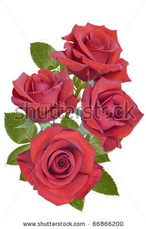 stock-photo-red-roses-on-a-white-background-66866200