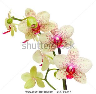 stock-photo-yellow-and-red-orchid-flowers-close-up-isolated-on-white-background-147756347