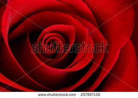 stock-photo-a-close-up-macro-of-a-vibrant-red-rose-207957130