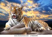 stock-photo-tiger-looking-something-on-the-rock-with-beautiful-sky-at-sunset-time-175605365