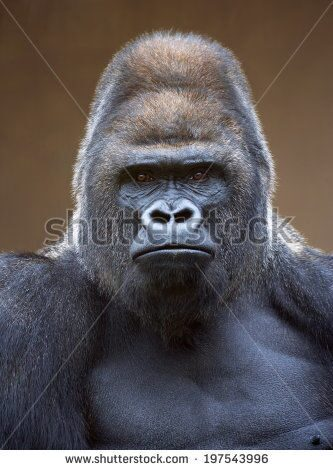 stock-photo-portrait-of-a-gorilla-male-severe-silverback-on-light-brown-blur-background-grave-look-o
