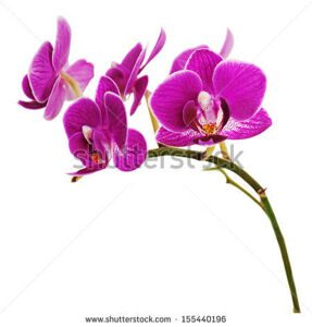 stock-photo-very-rare-purple-orchid-isolated-on-white-background-closeup-155440196