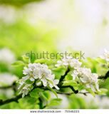 stock-photo-beautiful-closeup-spring-blossoming-tree-75546223