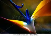 stock-photo-strelicium-flower-closeup-macro-121240702