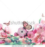 stock-photo-pink-flower-of-an-oriental-cherry-and-butterfly-152504402