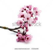 stock-photo-pink-cherry-blossom-on-white-57451639