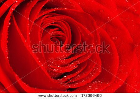 stock-photo-red-rose-close-up-172096490