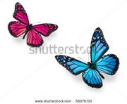stock-photo-monarch-butterfly-in-flying-positions-in-bright-blue-and-vivid-pink-isolated-on-white-studio-shot-56076730