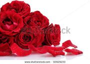 stock-photo-beautiful-red-roses-and-petals-isolated-on-white-93929233