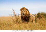 stock-photo-beautiful-lion-caesar-in-the-golden-grass-of-masai-mara-kenya-162523886