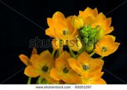 stock-photo-ornithogalum-dubium-on-black-background-shot-in-studio-60001297