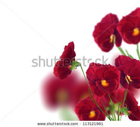stock-photo-many-pansy-flowers-isolated-on-white-background-113121961