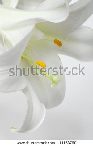 stock-photo-image-of-white-flower-lily-with-white-background-11178760