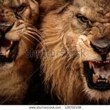 stock-photo-close-up-shot-of-two-roaring-lion-128702108