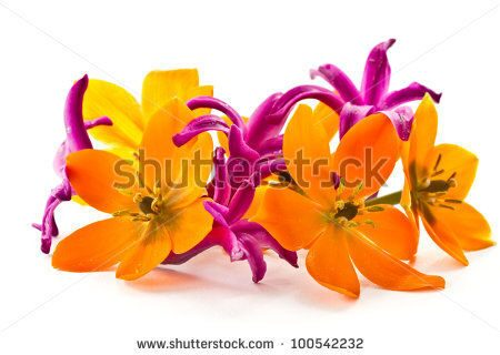 stock-photo-blooming-yellow-ornithogalum-dubium-on-a-white-background-100542232
