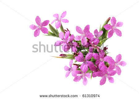 stock-photo-deptford-pink-dianthus-armeria-wild-flower-isolated-on-white-61310974