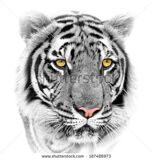 stock-photo-white-tiger-isolated-on-white-background-187486973