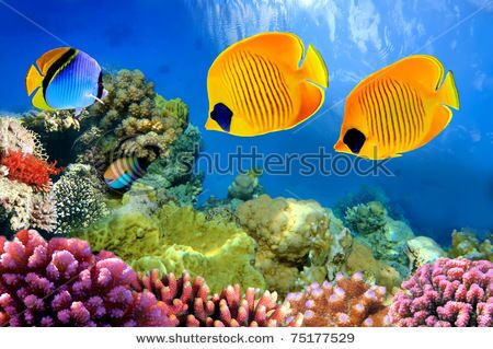 stock-photo-masked-butterfly-fish-chaetodon-semilarvatus-75177529