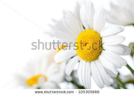 stock-photo-white-colored-daisy-isolated-on-white-background-105305666